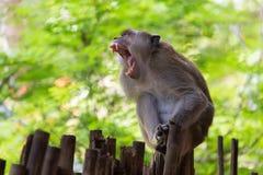 Aggressiver Makakenöffnungsmund Stockbild