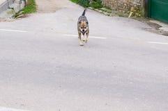 Aggressiver Straßenhund, der in Richtung zum Opfer läuft Stockfotografie