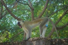 Aggressiver und verärgerter vervet Affe grinst auf dem Zaun kenia lizenzfreies stockbild