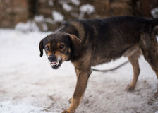 Aggressiver, verärgerter Hund lizenzfreies stockbild