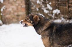 Aggressiver, verärgerter Hund Stockfoto