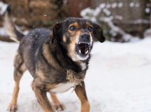 Aggressiver, verärgerter Hund Stockfotografie
