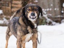 Aggressiver, verärgerter Hund stockbild