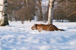 Agguato della tigre siberiana per la preda - altaica del Tigri della panthera Fotografia Stock