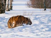 Agguato della tigre siberiana per la preda - altaica del Tigri della panthera Fotografie Stock
