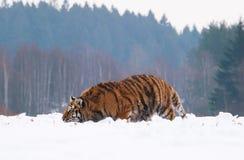 Agguato della tigre siberiana per la preda - altaica del Tigri della panthera Fotografia Stock Libera da Diritti