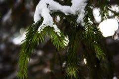 Aghi alla fine dell'albero di Natale - su coperta di neve Immagini Stock Libere da Diritti