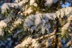 Aghi attillati di inverno del ramo della neve immagine stock libera da diritti