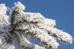 Aghi congelati del pino Fotografia Stock