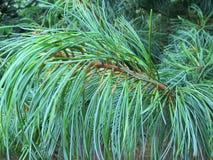 Aghi curvi del pino Fotografie Stock