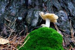 Aghi del muschio del fungo Fotografia Stock