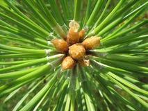 Aghi del pino Immagini Stock Libere da Diritti