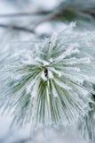 Aghi del pino fotografia stock