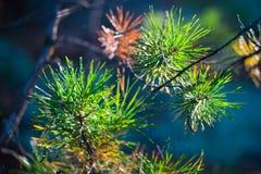 Aghi del pino alla luce dell'abbagliamento del sole Fotografia Stock