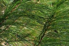 Aghi del pino bianco Fotografia Stock