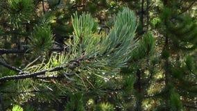 Aghi del pino che si muovono nel vento video d archivio