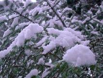 Aghi del pino coperti di neve fotografia stock