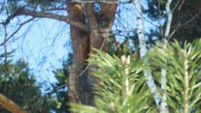 Aghi del pino di estate closeup Ramo di pino al sole Albero sempreverde video d archivio