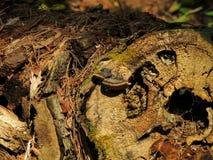 Aghi del pino e del fungo sul ceppo Fotografie Stock