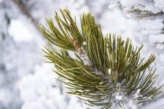 Aghi del pino nella neve Fotografia Stock