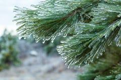 Aghi del pino sotto il ghiaccio Immagine Stock Libera da Diritti