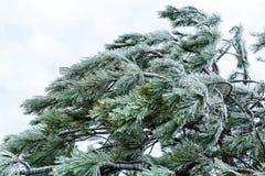 Aghi del pino sotto il ghiaccio Fotografia Stock