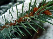 Aghi del pino sotto neve con goccia di acqua su  Fotografia Stock Libera da Diritti