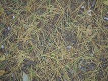 Aghi del pino su terra Immagine Stock Libera da Diritti