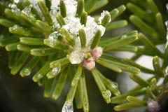 Aghi dell'albero di pino Fotografia Stock Libera da Diritti