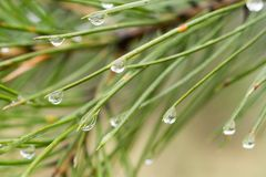Aghi dell'albero di pino con le gocce della pioggia Fotografia Stock