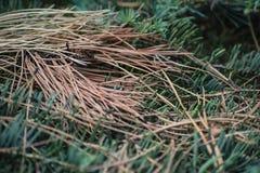 Aghi della macro del pino fotografia stock