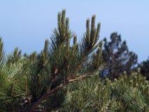 Aghi di un pino (Aj-Pétri, Crimea) Fotografia Stock