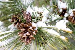 Aghi e codici del pino con neve Immagini Stock