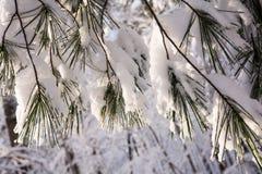 Aghi e neve del pino Fotografia Stock