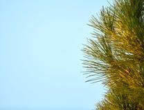 Aghi e ramoscelli del pino Fotografia Stock Libera da Diritti
