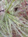 Aghi ghiacciati del pino Fotografia Stock