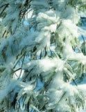 Aghi ghiacciati di White Pine Fotografia Stock Libera da Diritti