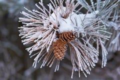 Aghi glassati del pino con i coni Fotografie Stock