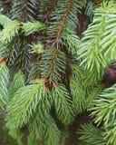 Aghi verdi degli alberi di Natale, primavera 2017 Fotografie Stock