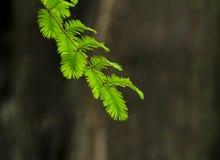 Aghi verdi del pino sul ramo di albero Fotografie Stock Libere da Diritti