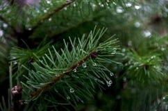 Aghi verdi dell'albero di Natale fotografie stock libere da diritti