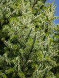 Aghi verdi ed argentei del omorica del Picea sul cielo del blye come fondo Primo piano nel sunligh naturale immagini stock