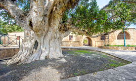 Agia Napa monastery courtyard entrance in Cyprus 2. A view of the Agia Napa monastery courtyard entrance and ancient fig tree in Cyprus Stock Images