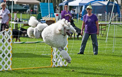 agien konkurrerar hundpoodlewhite Arkivfoton
