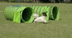 The agile dog getting out of the toy tunnel 4K FS700 Odyssey 7Q stock video