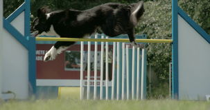 The agile dog jumpin over the stick 4K FS700 Odyssey 7Q Royalty Free Stock Photos