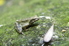 Agile frog Stock Images