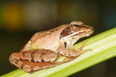 Agile Frog  close-up - Rana dalma Stock Photo