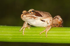 Agile Frog  close-up - Rana dalma Stock Image