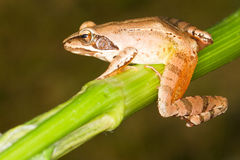 Agile Frog  close-up - Rana dalma Stock Images